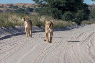 C16V1384_-_Lion.jpg
