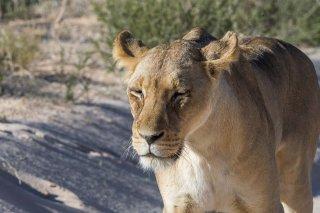 C16V1390_-_Lion.jpg