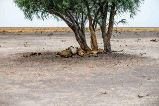C16V4070_-_lions.jpg