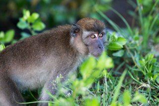 C16V2997_-_Long-tailed_Macaque.jpg