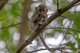 C16V3244_-_Crab-eating_Macaque.jpg