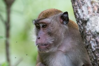 C16V3263_-_Crab-eating_Macaque.jpg