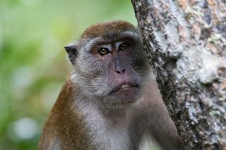 C16V3266_-_Crab-eating_Macaque.jpg