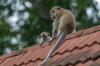 C16V4265_-_Long-tailed_Macaque.jpg
