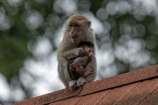 C16V4266_-_Long-tailed_Macaque.jpg