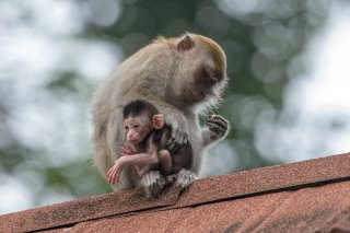 C16V4269_-_Long-tailed_Macaque.jpg