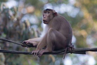 C16V6867_-_Pig-tailed_Macaque.jpg