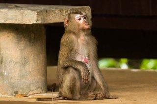 IMG_2471_-_Stump-tailed_Macaque.jpg