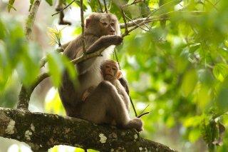 IMG_2479_-_Stump-tailed_Macaque.jpg
