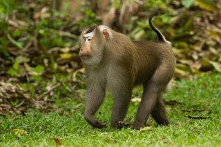 IMG_2494_-_Stump-tailed_Macaque.jpg
