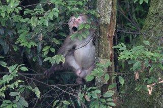 IMG_6562_-_Tibetan_Macaque.jpg