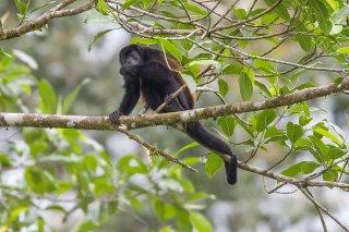 3T9P5034_-_Mantled_Howler_Monkey.jpg