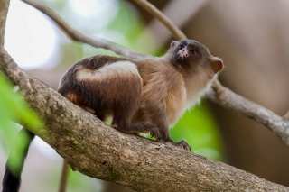 3T9P7650_-_Black-tailed_Marmoset.jpg