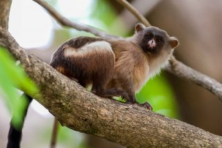 3T9P7654_-_Black-tailed_Marmoset.jpg