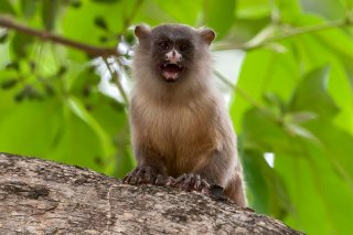 3T9P7672_-_Black-tailed_Marmoset.jpg