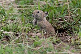 3T9P0901_-_Himalayan_Marmot.jpg
