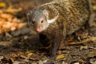 IMG_5781_-_Crab-eating_Mongoose.jpg