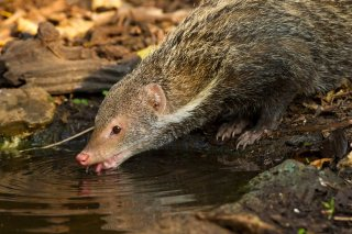 IMG_5785_-_Crab-eating_Mongoose.jpg