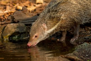 IMG_5789_-_Crab-eating_Mongoose.jpg