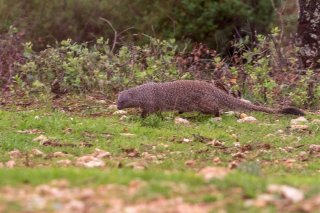 C16V7801_-_Egyptian_Mongoose.jpg
