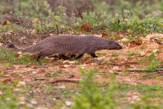 C16V7809_-_Egyptian_Mongoose.jpg