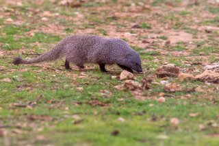 C16V7811_-_Egyptian_Mongoose.jpg