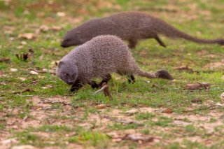 C16V7815_-_Egyptian_Mongoose.jpg