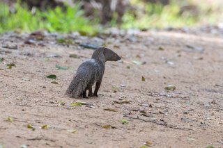 C16V9850_-_Indian_Grey_Mongoose.jpg