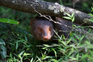 C16V0816_-_Ruddy_Mongoose.jpg