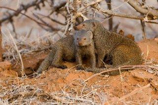 3T9P5603_-_Somali_Dwarf_Mongoose.jpg