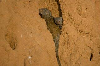 3T9P5630_-_Somali_Dwarf_Mongoose-h.jpg