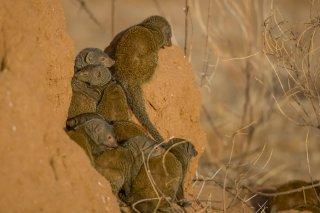 3T9P5636_-_Somali_Dwarf_Mongoose-h.jpg