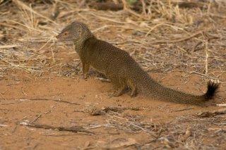 IMG_7661_-_Somali_Dwarf_Mongoose.jpg