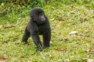 IMG_1423_-_Mountain_Gorilla.jpg
