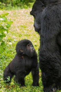 IMG_1444_-_Mountain_Gorilla.jpg