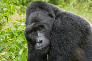 IMG_1448_-_Mountain_Gorilla.jpg
