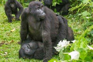 IMG_1473_-_Mountain_Gorilla.jpg