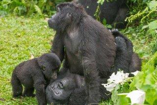 IMG_1476_-_Mountain_Gorilla.jpg