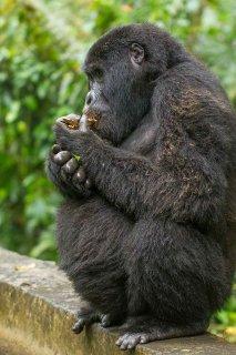 IMG_1497_-_Mountain_Gorilla.jpg