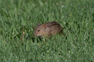 C16V9092_-_Striped_Mouse.jpg