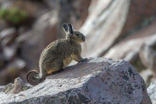 C16V6167_-_Peruvian_Viscacha.jpg