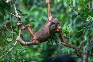 C16V5471_-_Orangutan.jpg