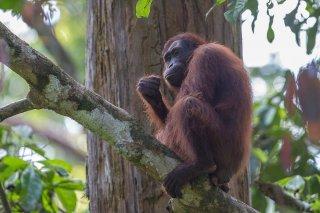 C16V5499_-_Orangutan.jpg