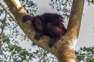 C16V6811_-_Orangutan.jpg