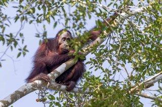 C16V6833_-_Orangutan.jpg