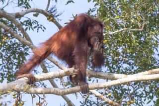 C16V6845_-_Orangutan.jpg