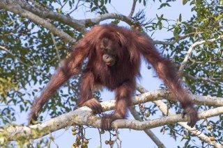 C16V6847_-_Orangutan.jpg