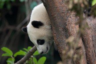 3T9P8588_-_Giant_Panda.jpg