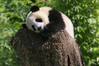 IMG_8696_-_Wolong_Panda.jpg