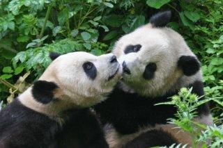 IMG_8710_-_Wolong_Panda.jpg